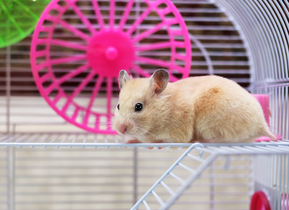 closeup-hamster-in-cage-with-wheel_41567107_0