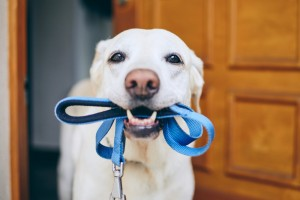 Dog,Waiting,For,Walk.,Labrador,Retriever,Standing,With,Leash,In